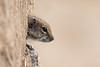 Barbary Ground Squirrel (Wouter's Wildlife Photography) Tags: barbarygroundsquirrel groundsquirrel squirrel atlantoxerusgetulus mammal animal nature naturephotography wildlife wildlifephotography canaryislands