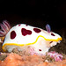 Splendid nudibranch - Goniobranchus splendidus