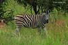 Burchell's Zebra 326482gb (Dirk Huitzing) Tags: burchellszebra krugerpark mpumalanga southafrica equusquaggaburchelli