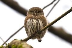 Northern Pygmy-Owl / Chevêchette des rocheuses (shimmer5641) Tags: glaucidiumgnoma northernpygmyowl chevêchettedesrocheuses owlsfamily birdofprey britishcolumbiacanada birdsofbritishcolumbia birdsofnorthamerica raptor