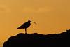 Eurasian Curlew, Lower Largo, Fife, Scotland (Terathopius) Tags: largobay fife scotland unitedkingdom uk greatbritain gb eurasiancurlew lowerlargo numeniusarquata numeniusarquataarquata