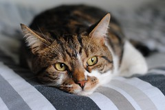 Brian on the bed (zawtowers) Tags: brian cat kitty cute feline adorable christmas december 2017 relaxed content happy festive afsnikkor50mmf18g 50mm fifty corner bed resting sleeping stripes looking out window