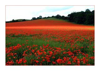 Poppies. 10
