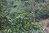 Diospyros morrisiana (Smalltown Huang) Tags: diospyros ebenaceae
