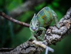 Dinner is served..._ (marionrosengarten) Tags: chameleon green tongue vivarium chamäleon macro tamron90mmf28divcmacro nikon workshop zoo dof shallowdof schärfeverlauf darmstadt reptile