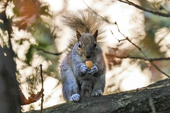 Anyone for an Acorn? (stellagrimsdale) Tags: squirrel animal wildlife wildanimal acorn tree branch fur tail eating leaves oak face animallookingatyou