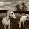 Pré carré au chevaux... (stephane.desire) Tags: saintvigordymonville cheval chevaux noiretblanc monochrome sépia