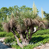 Nolina beldingii-2 (SUBENUIX) Tags: asparagaceae nolinabeldingii suculentas subenuix subenuixcom planta suculent suculenta botanic botanical