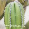Marginatocereus marginatus-3 (SUBENUIX) Tags: cactaceae marginatocereusmarginatus suculentas subenuix subenuixcom planta suculent suculenta botanic botanical