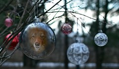 The Prettiest Ornament On The Tree (Feeling Better...Still Slow To Comment!) Tags: ddc 2243 shiny ornaments shizandra face inthebackyard