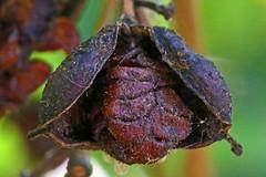 Seeds Redux - HMM (DaveSPN) Tags: macromondays redux 17042017 memberschoice seeds