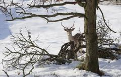 Merry Christmas ! (leuntje) Tags: amsterdamsewaterleidingduinen deer dezilk fallowdeer awd damherten vogelenzang winter snow dunes