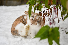 MERRY CHRISTMAS TO ALL FOR 2017 (Paul Wrights Reserved) Tags: rabbit bunny bunnies rabbits lop lopears bigfoot snow leaves eyes foot pet pets cute animal animalantics