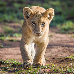 Lion cub (José Carlos Photography) Tags: africa autumn big5 bigfive cachorro cub fall león lion loscincograndes mara november noviembre otoño pantheraleo serengeti serengueti tanzania travels viajes viajetanzania2017