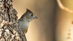 Oak Titmouse (Bob Gunderson) Tags: baeolophusinornatus birds california centralvalley lakesolano northerncalifornia oaktitmouse solanocounty