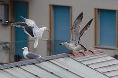 Gabbiani che giocano sui tetti sotto la pioggia fine (Carla@) Tags: gabbianoreale larusmichahellis ylgullmichahellis birds wildlife nature liguria italia europa mfcc canon coth coth5 supershot
