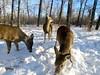 White-tailed Deer family close-up (benlarhome) Tags: calgary alberta canada bowriver