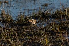 Leighton Moss (Josh R S) Tags: birds leightonmoss rspb silverdale wildlife wildlifephotography rspbleightonmoss snipe britishwildlife britishwildlifeimages wildlifeimages