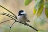 Black-capped Chickadee (red-wing) Tags: bird animal canada burnaby centralpark britishcolumbia chickadee blackcapped blackcappedchickadee perch tree