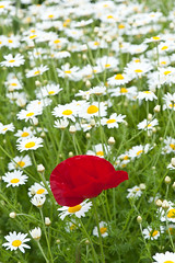 Common field or corn poppy and white daisies (Alan Buckingham) Tags: anthemis chamomile commonfieldpoppy cornpoppy loseleyhouse papaverrhoeas poppy red white wildflower