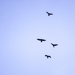 Four carrion crows flying, 2017 Dec 26 thumbnail