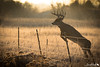Morning Jump (dekish1) Tags: 2r1a6011jpg cherrycreekstatepark canon5dmarkii canon100400mm copyrightdavidkish2018 whitetail deer buck