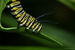 Monarch Caterpillar (kelstar*) Tags: danausplexippus insects caterpillar macro milkweedbutterfly monarch monarchbutterfly project365 project3652018