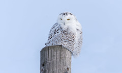 Harfang des neiges (Snowy owl) (miro_mtl) Tags: attente buboscandiacus d7200 harfangdesneiges hibou montreal nikon nikond7200 outdoors snowyowl sthubert tamron tamronsp150600mm america amerique animals bird birdofprey blanc canada ciel clouds feathers hiver monteregie oiseau oiseaudeproie owl patience quebec raptor snow symbol waiting white wildlife winter