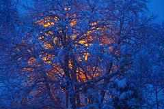 Luminous tree (g.rokke) Tags: luminoustree lysendetre tre tree boom snø sneeuw snow winter vinter winterwonderland jul christmas kerst blåtime blue bluehour blå blauw
