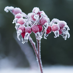 Frozen Rose Hip (Aleah Carr) Tags: rose hip red frozen ice cold