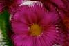 Seeing triple for Macro Mondays (deanrr) Tags: macromondays doubleexposure multipleexposure threeexposures nikon nikond7100 monday nature flower petals pink boldcolors 1855mm plant nikkor1855mm nikkor closeup macro bright colorful