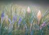 Spring Fever (ursulamller900) Tags: macromondays marcomondays doubleexposure krokus colorful crocus bokeh mygarden