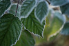 Chillin' (writing with light 2422 (Not Pro)) Tags: rapjohnlake washingtonstate leaves sunrise ice frost bokeh chillin richborder