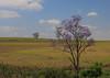 Purple (iorus and bela) Tags: bela iorus holiday vakantie 2017 southafrica zuidafrika kwazulunatal tree jacaranda purple countryside