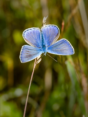 Common Blue (Paul West ( pwest.me )) Tags: commonblue nature riverside countryside