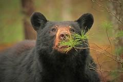 Mama Bear (hennessy.barb) Tags: bear blackbear mamabear gsmnp cadescove greatsmokymountains mammal predator nature wildlife animal barbhennessy