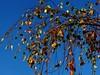 IMG_4120 Herbst / Fall / Autumn (Traud) Tags: germany deutschland bavaria bayern bau blue äste brances birke coloured leaves