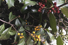Yellow and Russet Holly (brucetopher) Tags: flora plant pointy sharp yellow holly berries seasonal season holiday christmas leafy cityplant