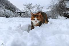 "Monica: ""This Is The Real Winter For Me ♥"" (Xena*best friend*) Tags: monicabellucci mb catsinthesnow catsinthewhitestuff catswalkinginthesnow snow cold winter winterwonderland ilovewinter ilovesnow cats whiskers feline katzen gatto gato chats furry fur pussycat feral tiger pets kittens kitty piedmontitaly piemonte canoneos760d italy wood woods wildanimals wild paws animals calico markings ©allrightsreserved purr digitalrebelt6s efs18135mm flickr outdoor animal pet"