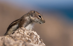 Barbary Ground Squirrel (Wouter's Wildlife Photography) Tags: barbarygroundsquirrel squirrel mammal animal nature naturephotography wildlife wildlifephotography canaryislands atlantoxerusgetulus