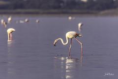 Flamingo (iosif.michael) Tags: 150600 birds flamingos larnaca nikon saltlake tamron