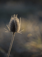 Piquant et rayonnant -* (Titole) Tags: cardère teasel titole nicolefaton backlit thechallengefactory