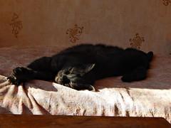 чёрный кот Муся | Musia the black cat (Horosho.Gromko.) Tags: cat blackcat sleeping mycat blackcats кот кошка черныйкотмуся черныйкот черный спит