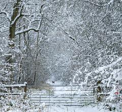 Fleeting Moment (jactoll) Tags: weethley warwickshire winter snow snowy deer ice landscape sony sony2470mmf28gm a7ii jactoll