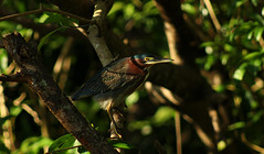Green heron (Butorides virescens) (phl_with_a_camera1) Tags: costa rica isla damas mangrove swamp nature animal water morning wildlife telephoto zoom lens bird birding green heron butorides virescens
