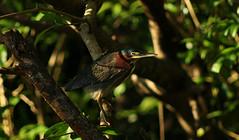 Green heron (Butorides virescens) (phl_with_a_camera1) Tags: costa rica isla damas mangrove swamp nature animal water morning wildlife telephoto zoom lens bird birding green heron butorides virescens