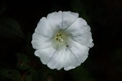 Wild Flower (Hugo von Schreck) Tags: hugovonschreck flower blume blüte wildflower wildblume macro makro canoneos5dsr tamron28300mmf3563divcpzda010