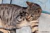 Give me five! (JOAO DE BARROS) Tags: joão barros cat feline animal humor