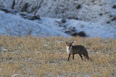 Vulpes vulpes :) (fsEscolano) Tags: fujifilm xt2 fujinon 100400 1855 huesca españa colour invierno winter fauna zorro nature naturaleza