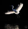 Scenes from Key Biscayne (Mario Houben   Photography) Tags: mariohoubenphotography florida usa greategret southflorida keybiscayne bird crandonbeachpark backlit backlighting